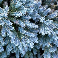 Juniperus Squamata Blue Star 1ltr