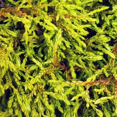 Thuja Occidentalis Golden Tuffet 1ltr
