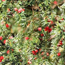 Taxus Taxus Baccata 1ltr