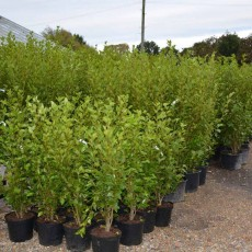 Griselinia Littoralis 40ltr Poly Bag