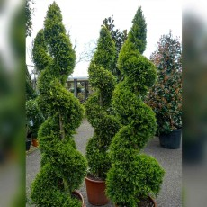 Buxus Spiral Topiary