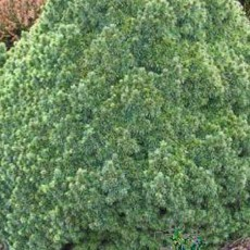 Picea Abies Lilliput