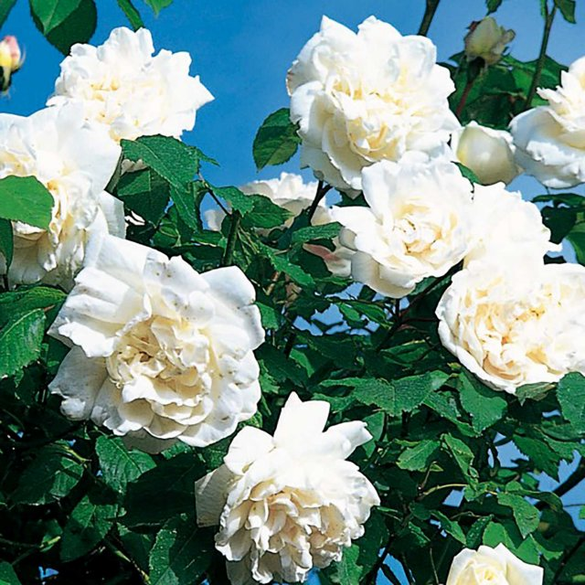 MME Alfred Carriere Climbing Rose 5ltr