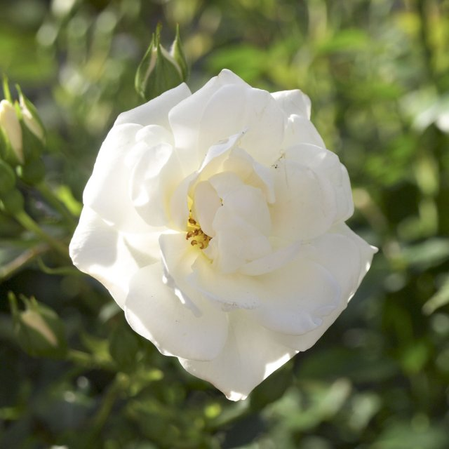 Princess Alexandra of Kent Rose 5ltr