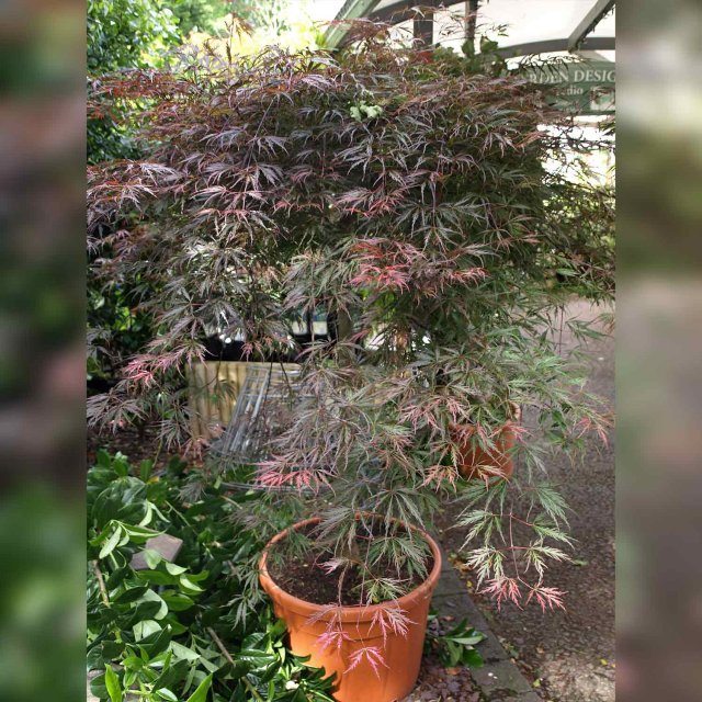 Japanese Maple Acer Palm Diss Inaba Shidare