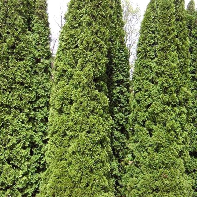 Thuja Occidentalis 1ltr