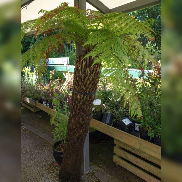 Tree Fern 5ft
