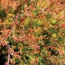 Thuja Occidentalis Fire Chief 7ltr