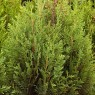 Thuja Plicata Little Boy 3ltr