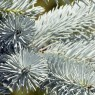 Picea Pungens Koster 7ltr